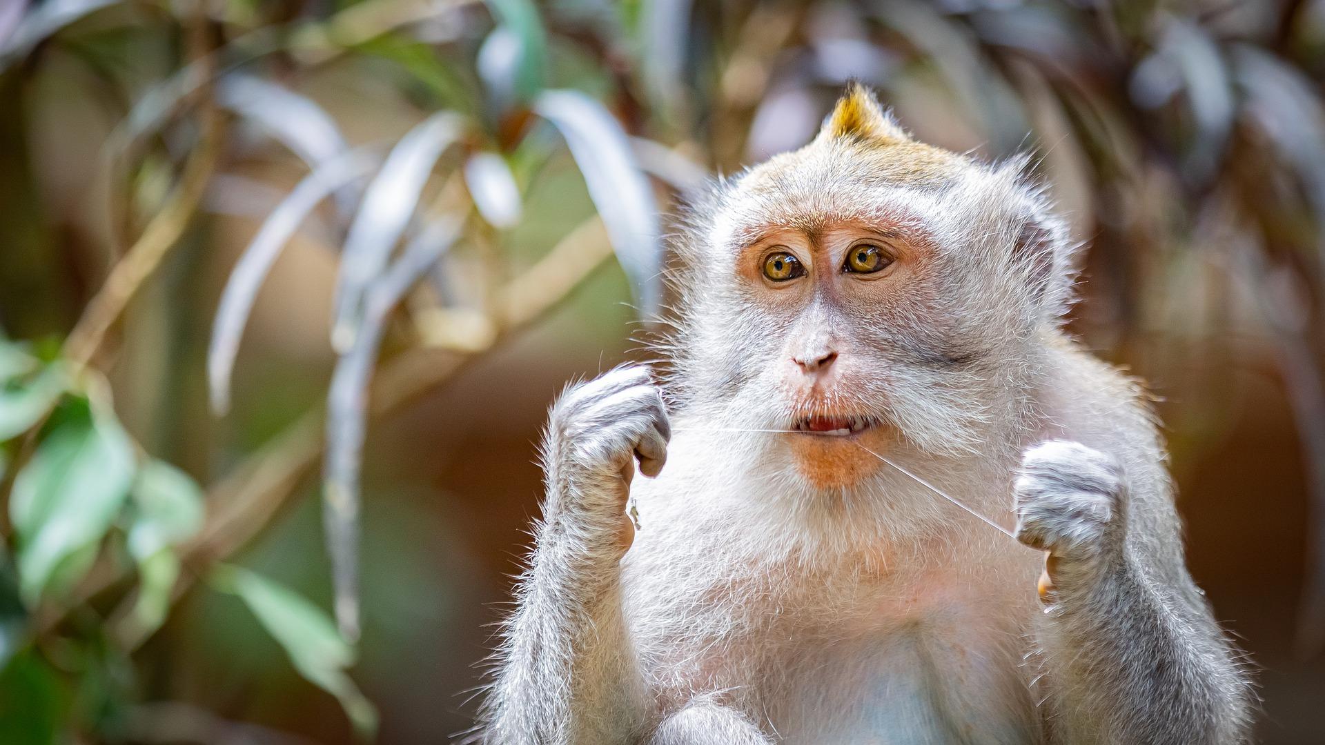 bali monkey - Bali: Wenn die Presse sich zum Affen macht