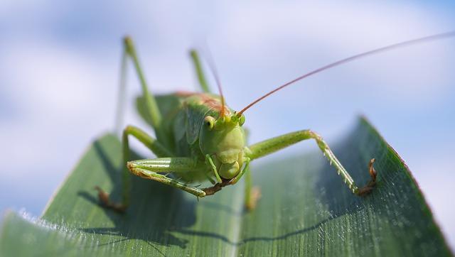 heuschrecke grasshopper - Uganda: Heuschrecken sind hier eine Delikatesse